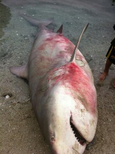 Cá mập xuất hiện tại vùng biển Khánh Hòa 1