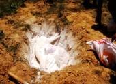 Chở heo chết từ vùng dịch tả heo châu Phi đi tiêu thụ
