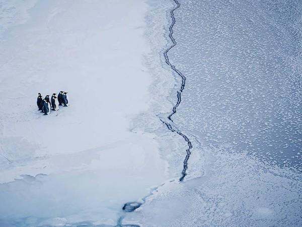 Chim cánh cụt đứng trước vết nứt băng do khí hậu ngày càng nóng lên. Ảnh: KIRA MORRIS