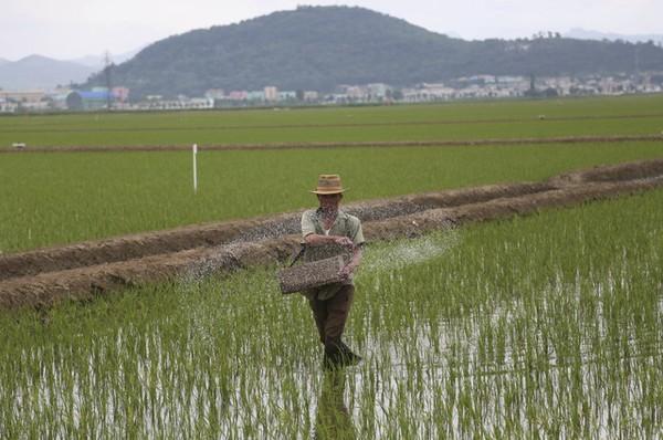 Một nông dân đang bón phân ruộng lúa ở huyện Sariwon, tỉnh North Hwanghae (Triều Tiên) ngày 13-6-2018. Ảnh: YONHAP