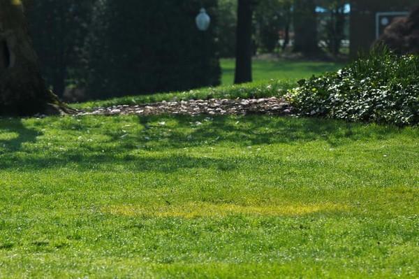 Khoảnh cỏ màu vàng trong sân Nhà Trắng, nơi từng được ông Trump và ông Macron trồng cây sồi con. Ảnh: REUTERS