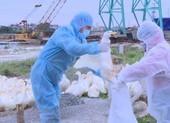 Tăng thêm 10 ổ dịch cúm gia cầm trong vòng 10 ngày