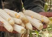 'Chuyện lạ' ở Đắk Nông: Trồng bắp toàn… cùi, không hạt