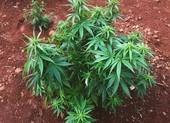 Mang cần sa về trồng nhưng nói là cây chè