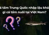 Cá tầm Trung Quốc nhập lậu khác gì cá tầm nuôi tại Việt Nam?