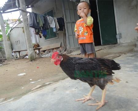 Chú gà đặc biệt có 4 chân