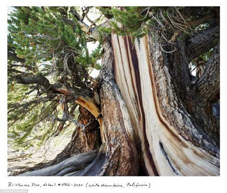 Cây vân sam Gran Picea (9,550 năm tuổi tại Fulufjället, Thụy Điển)