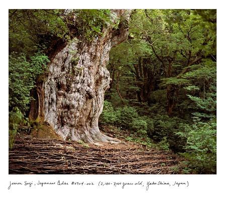 Jōmon Sugi, cây tuyết tùng giống Nhật (2,180-7,000 năm tuổi, tìm thấy tại Yakushima, Nhật Bản)