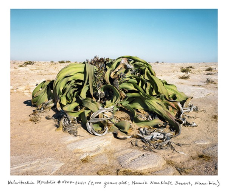 Loài Welwitschia Mirabilis (2,000 năm tuổi tại sa mạc Namib-Naukluft, Namibia)