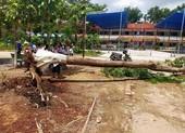 Một cây phượng trong trường học ở Bình Dương lại bật gốc