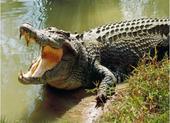 Dân lo sợ khi thấy cá sấu trên sông, chính quyền phát cảnh báo