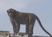 Khỉ đực hơn 10 ký trong đàn khỉ đại náo bị thổi tiêu thuốc mê