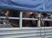 Củ Chi: Kẻ gian đánh xe tải vào tận chuồng trộm 2 con bò