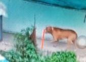 Chó Pitbull tấn công chủ, cắn chết người trong quán cà phê