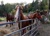 Điều tra hàng loạt vụ giết ngựa rùng rợn tại Pháp