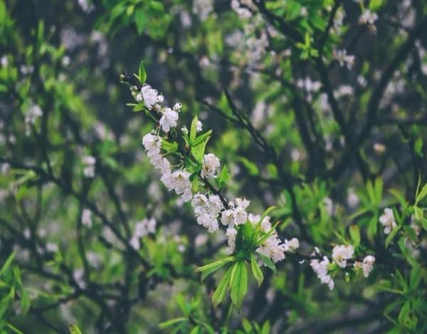 Cành hoa mận trắng tinh khôi nở bung trong sương sớm.