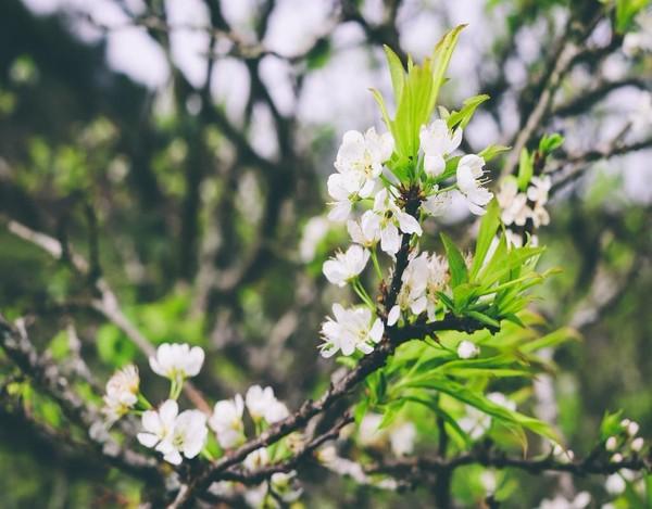 Hoa mận cùng những chồi non xanh rờn chuẩn bị đón chào mùa xuân.