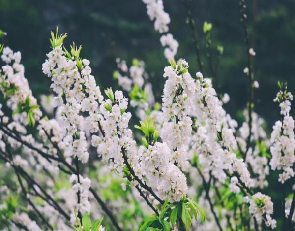 Tuy đã là cuối mùa, nhưng những bông hoa mận vẫn bung sắc vào những ngày trời đông lạnh giá.