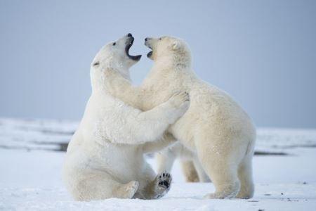 """Nhầm lẫn khi nhắn tin khiến nhiều người vô tình """"xin"""" nhận nuôi gấu Bắc cực"""