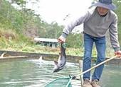 Cá tầm Trung Quốc siêu rẻ quá nhiều, hạ 'đo ván' cá trong nước