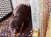 Người dân giao nộp rái cá vuốt bé quý hiếm cho trạm bảo tồn
