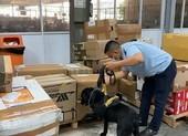 Dùng chó nghiệp vụ tìm 4,72kg cần sa ở sân bay Tân Sơn Nhất