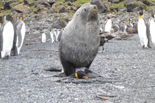 Hải cẩu bỗng dưng 'yêu' chim cánh cụt