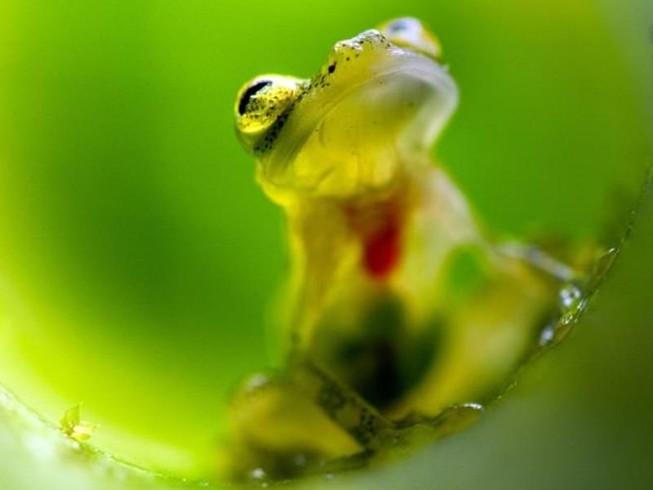 Kì lạ loài ếch trong suốt như thủy tinh