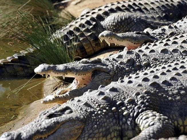 Dân lo sợ khi 1 bầy cá sấu xổng chuồng ở Nam Phi