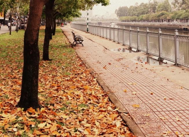 Ngắm lá lộc vừng vàng rộ cuối mùa ở Sài Gòn