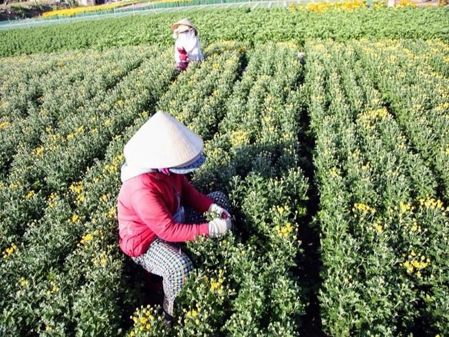 Làng hoa cúc vàng Mỹ Bình hối hả vào vụ Tết