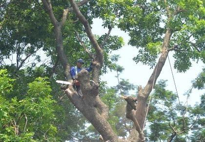Hà Nội chặt, chuyển 109 cây xanh để làm đường sắt trên cao