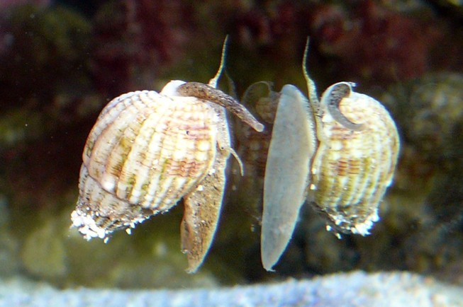 Độc tố trong ốc biển giống độc tố trong cá nóc