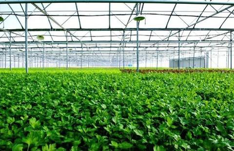 Mô hình trồng rau VietGap khép kín của Vingroup