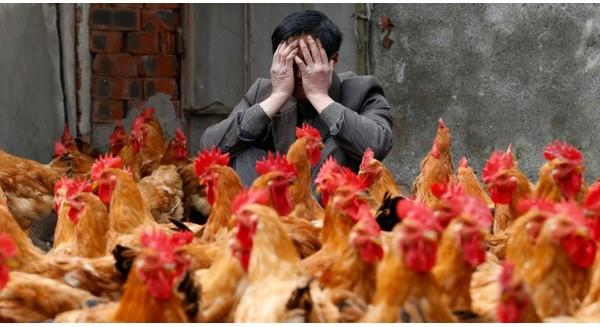 Không dám đưa gà Mỹ 'ra tòa' vì...sợ thất bại?