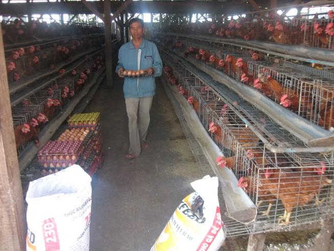 Gà Việt 'chết' vì đùi gà Mỹ siêu rẻ 7.000 đồng/kg ?