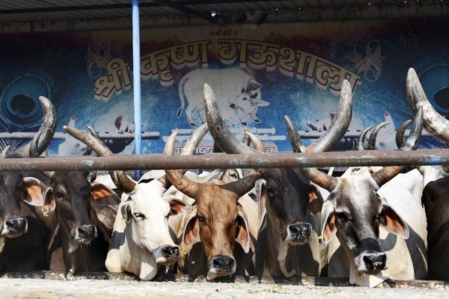Xộ khám vì ép người uống nước tiểu bò phòng ngừa COVID-19