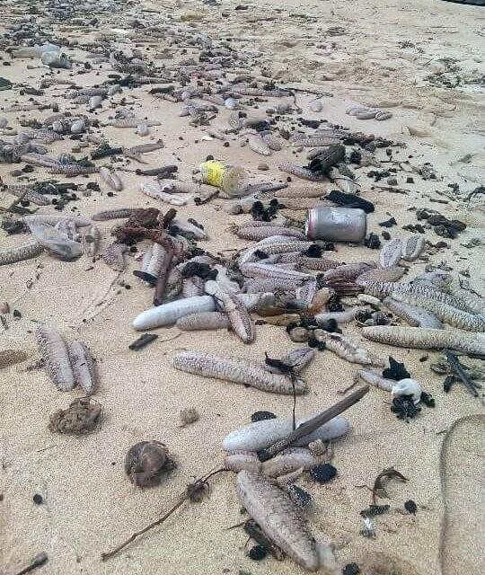 Hàng ngàn con hải sâm dạt vào bờ biển Phú Quốc