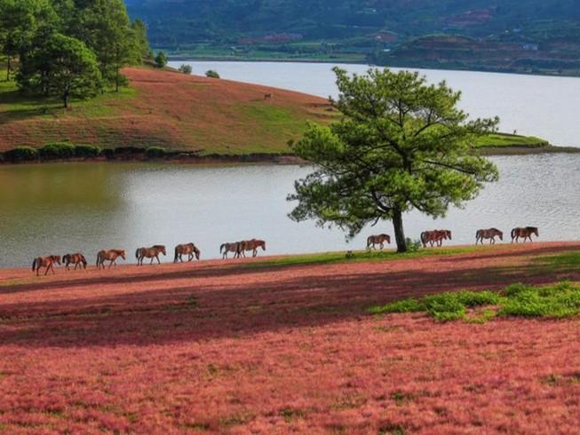 Chiêm ngưỡng mùa cỏ hồng đẹp như tranh vẽ ở Đà Lạt