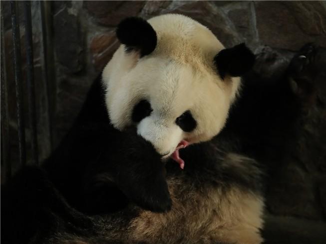 Ngày 17-3 là ngày chào đời của cặp gấu trúc con đầu tiên được sinh trong năm 2020. Ảnh: CHINA DAILY