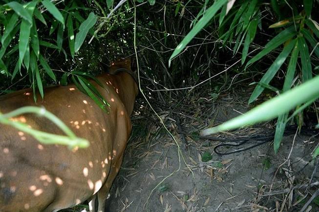 Lẻn vào vườn trộm một lúc 3 con bò mang đi bán