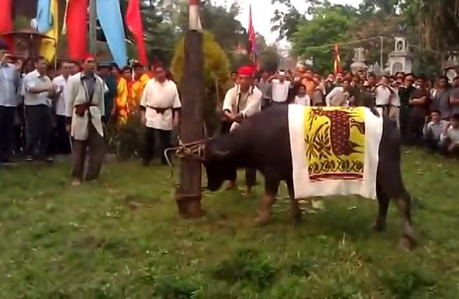 Vẫn thực hiện nghi thức chém trâu tại lễ hội đền Chín Gian