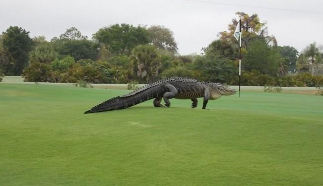 Cá sấu khổng lồ xâm nhập sân gôn