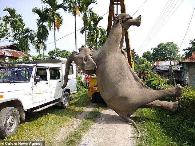 Hai con voi hoang dã bị điện giật chết