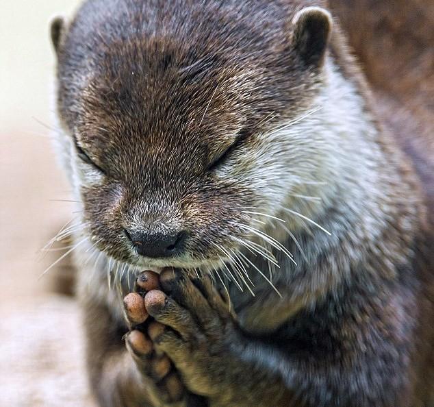 """Kỳ lạ: Con rái cá chắp tay """"cầu nguyện"""" trước bữa ăn"""
