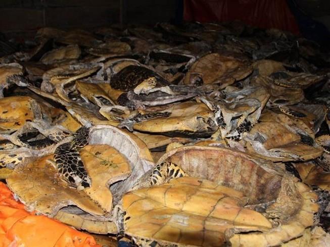 Xử vụ tàng trữ xác rùa biển lớn nhất thế giới