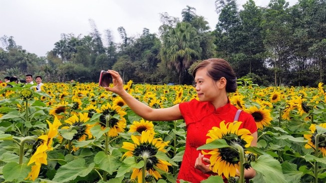 Người dân đổ xô đi chụp ảnh với hoa hướng dương