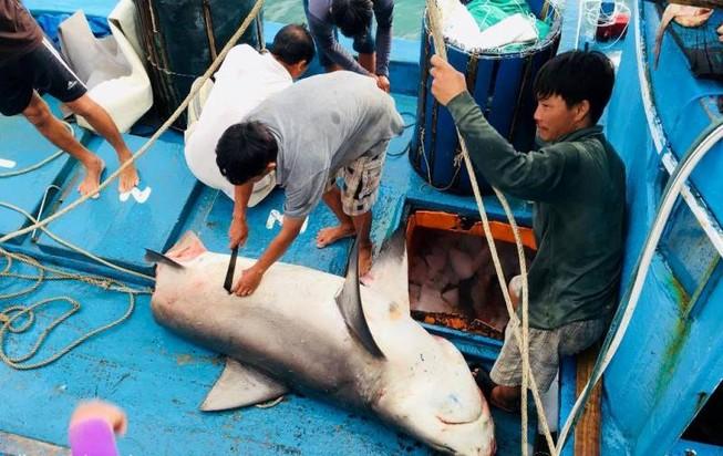Dân thích thú với thịt cá mập giá 50 ngàn/kg