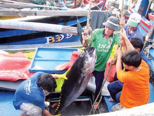 Cá ngừ 'bỏ trốn' do biển Đông nóng lên, ngư dân mất mùa