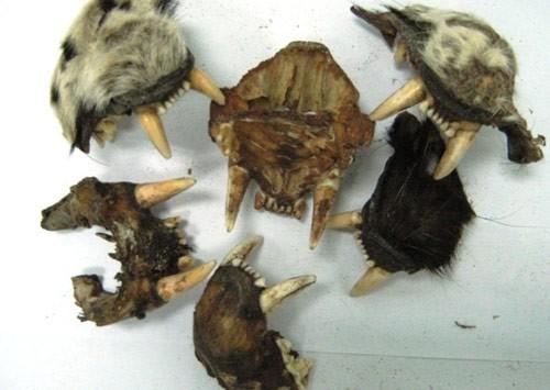 40 kg xương động vật về từ Nga là xương sư tử